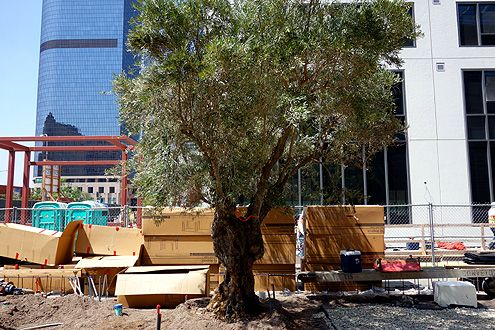 As soon as the trees arrived at their new home, they were planted and watered to help stabilize them