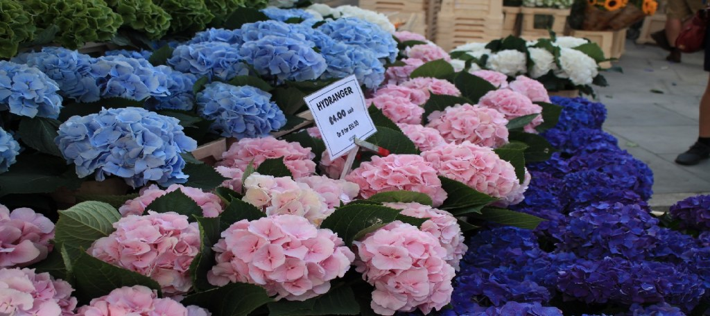 hydrangeas-Columbia road