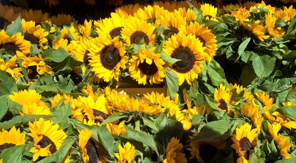 columbia road sunflowers