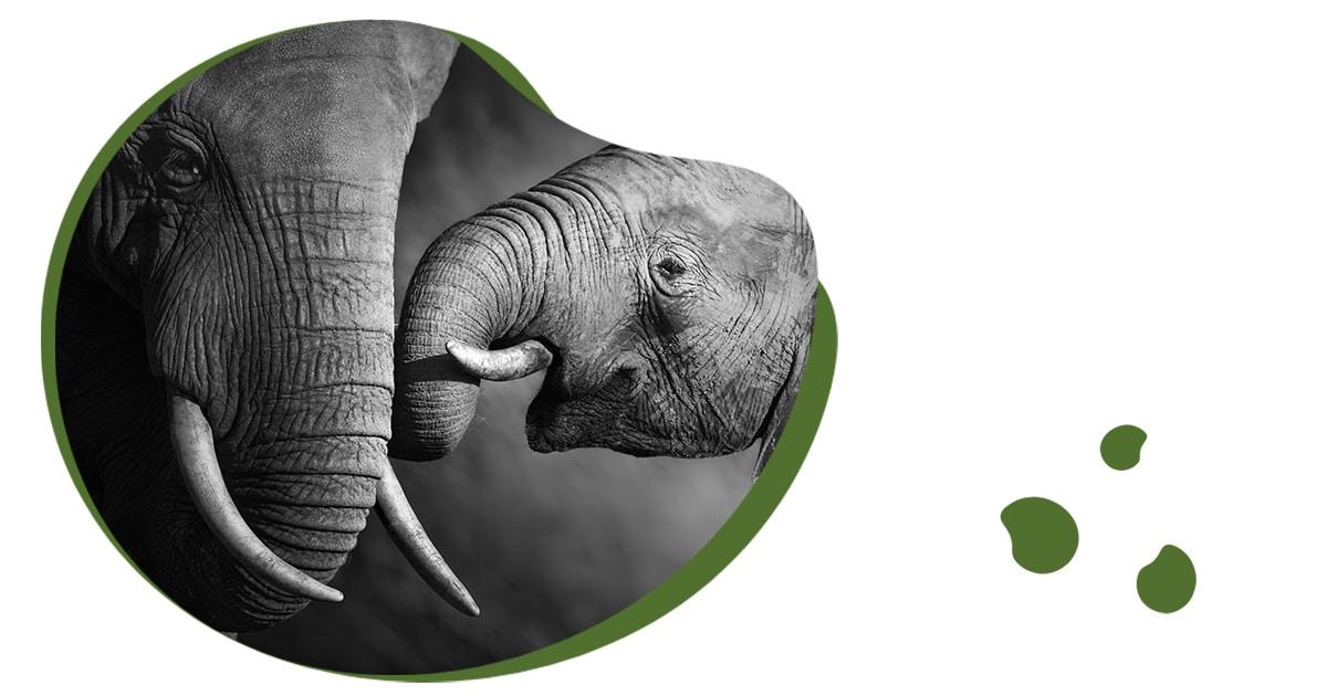 Genegenheid bij olifanten