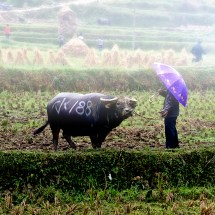 Rain falls on a man and his bull as they await their turn to test their strength.