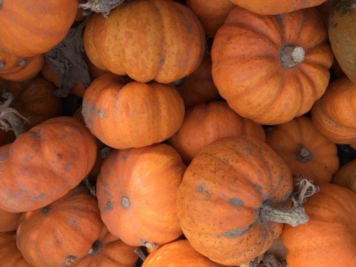 Pumpkin picking at Hollam Nurseries