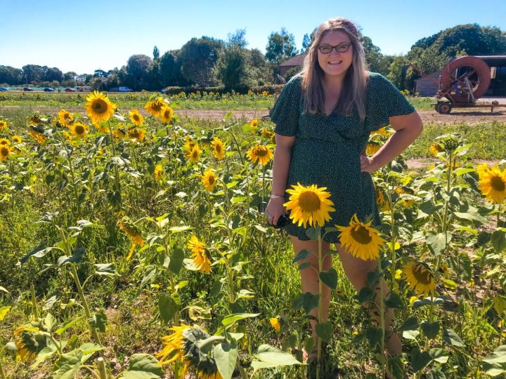 Pick Your Own Sunflowers at Hollam Nurseries