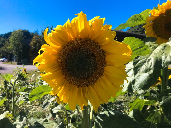 Pick your own sunflowers at Hollam Nurseries in Titchfield, Hampshire, UK