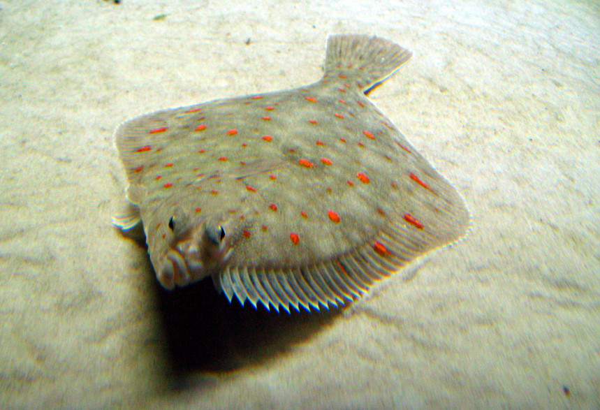Image result for plaice swimming