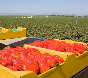 Strawberry field in California