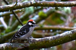 Downy Woodpecker with chilly toes on an icy branch