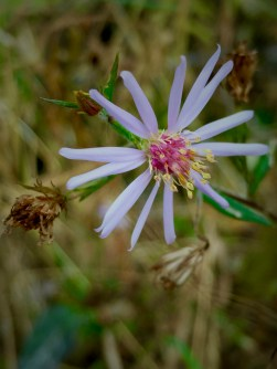 A purple aster, probably Smooth Aster (Symphyotrichum laeve)