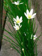 zephyranthes_candida1