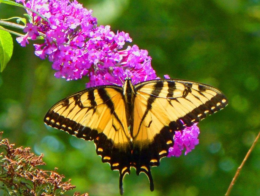 Anya Butterfly 1