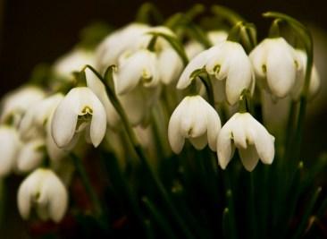2013-042-s-snowdrops-garden-house-lincolnshire