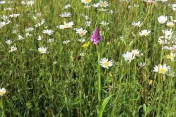 widflower-meadow