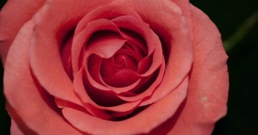 Boost 1.60 Rose Flower