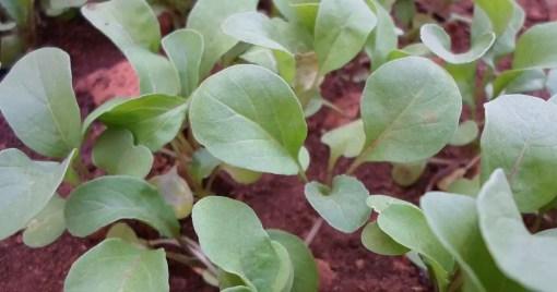 Arugula Salad Rocket