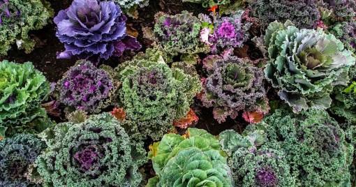 Assortment of Kale