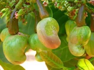 Cashew nut crop