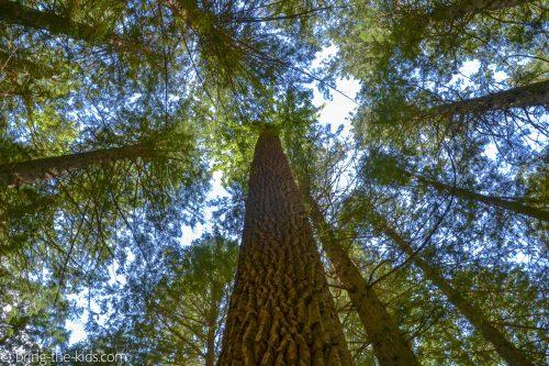 cedar tree, trail of the cedars