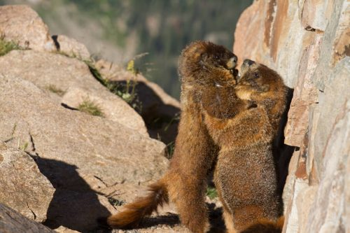 marmots in rocky mountain national park