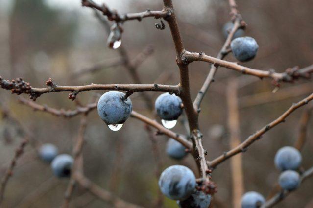 Sloe Berries On A Tree