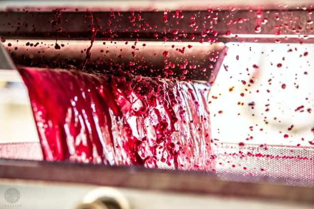Fresh grape juice after being mashed to make wine