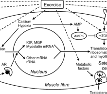 Does Aerobic Training Interfere with Muscle Hypertrophy and Strength?