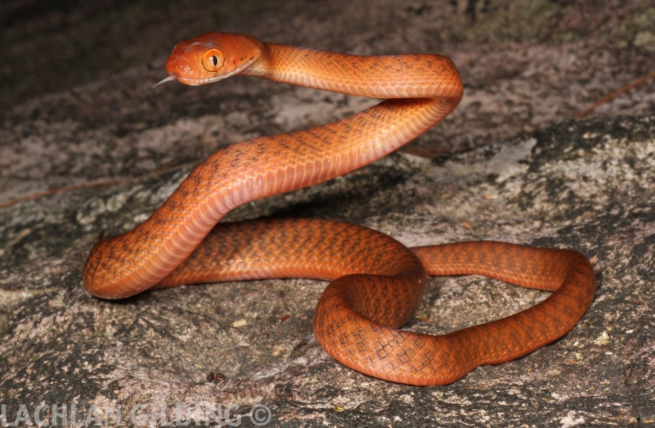 hawaii brown snakes - HD1333×871