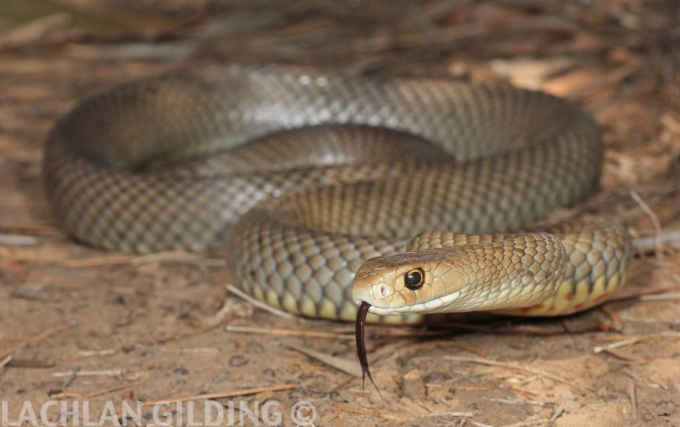 reduced eastern brown snake 2