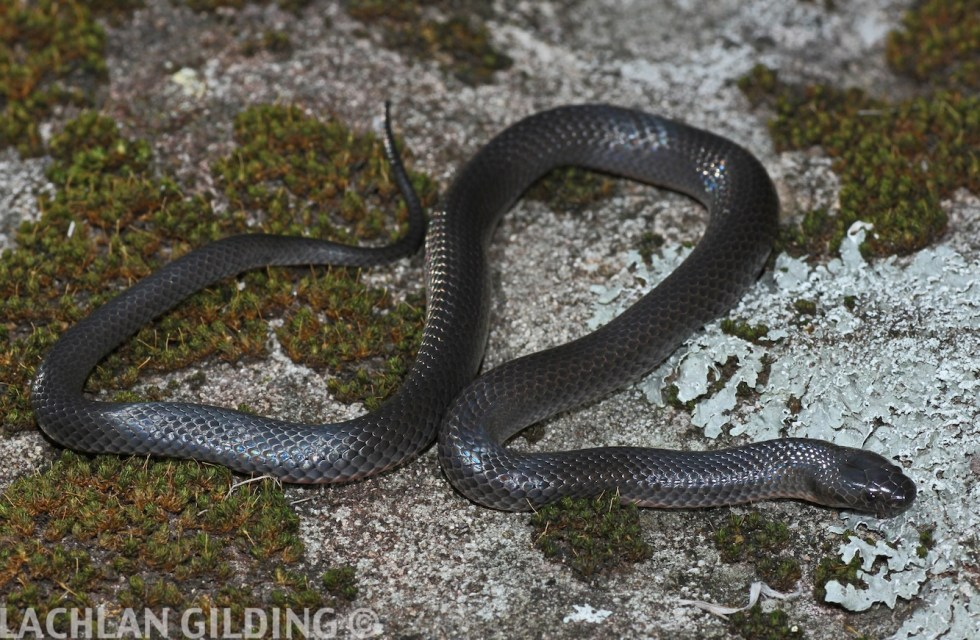 reduced eastern small-eyed snake