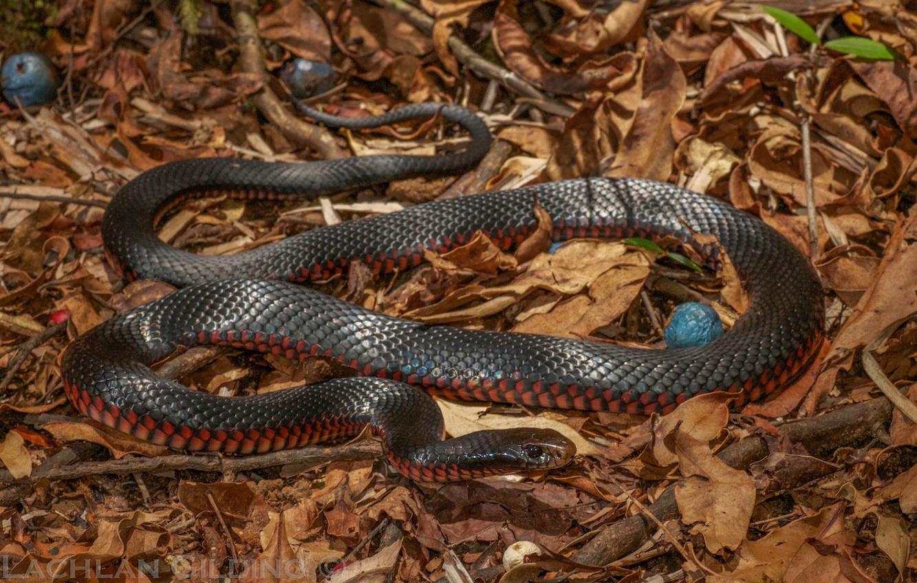 Snake Identification Snake Catchers Brisbane