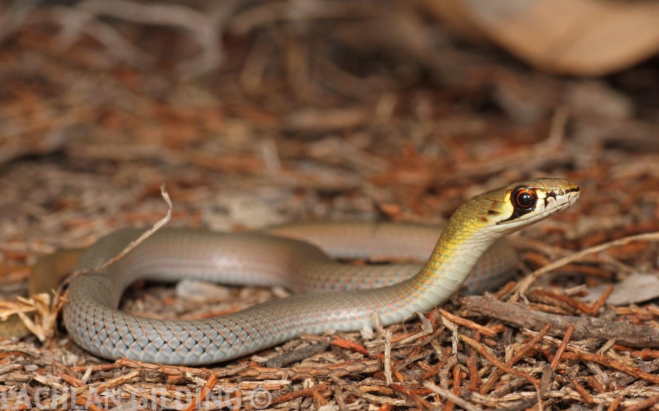 carpet snakes brisbane carpet vidalondon
