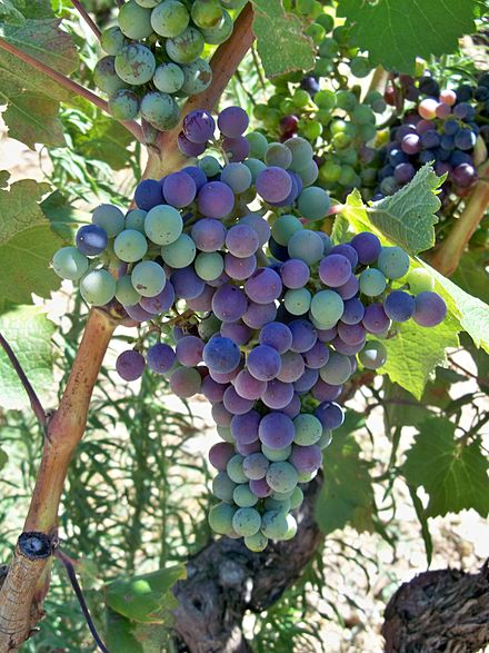 A cluster of grapes undergoing véraison.