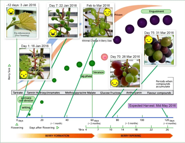 The Fruiting Cycle; sggrapegrowers.com