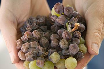 Late Harvest Wine Grapes; harvestnapa.com