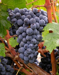Cabernet Franc grapes; bordeaux.com