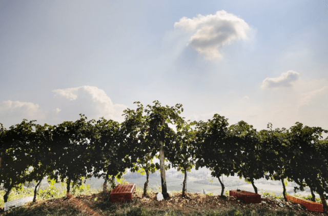 The Tommasi harvest gets under way on the Conca d'Oro hill in Valpolicella Classico. Credit: tommasi.com