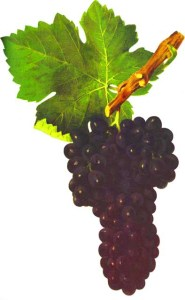 The Shiraz grape cluster, illustration from Ampélographie (Viala et Vermorel, 1902)