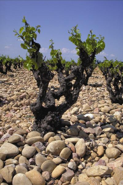 Resolutely Rhone-native, the reds, rosés and whites of Costières de Nîmes reflect the singular character of a terroir that everything naturally links to the vineyards of the Rhône Valley.