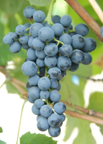 Portuguese variety Touriga Nacional which is one of the new red varieties to be approved