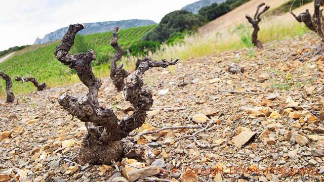 A vineyard killed by the court-noué disease (grapevine fanleaf virus) in Valle de l'Agly, Roussillon, copyright BKWine Photography