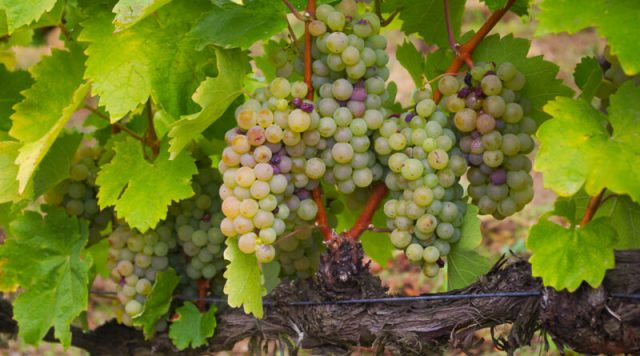 '[Furmint] is a fantastic grape for reflecting terroir,' says Gilby, citing research by Kneip, showing how site characteristics alter the berry skin thickness.