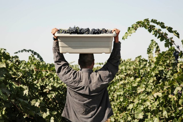 In 2020, Napa and Sonoma crushed 39% and 36% fewer grapes, respectively, than the previous year / Getty