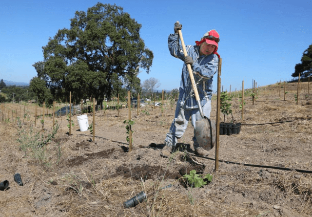 Crispin Timas plants new vines at Ancient Oak Cellars in Santa Rosa on Wednesday, July 24, 2019. The Tubbs fire destroyed 15 acres of vineyard at Ancient Oak Cellars.(Christopher Chung/ The Press Democrat)