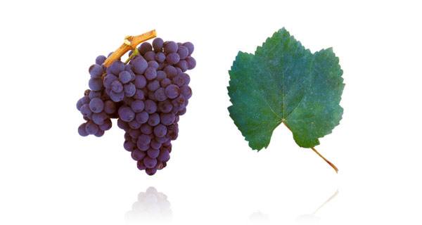 Baga wine grape; winesofportugal.info