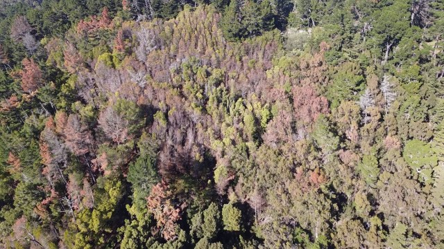Drought-stressed and diseased trees in the hills of Joaquin Miller Regional Park in January 2021. (Photo by John Br