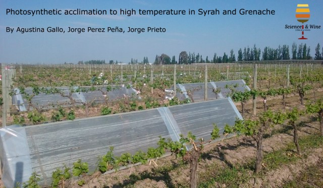 The main objective of this study was to evaluate (i) the mechanisms underlying the long-term acclimation of photosynthesis to elevated temperature and (ii) to determine whether these responses are similar among Syrah and Grenache
