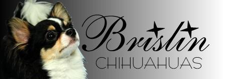 Brislin Chihuahuas AKC Show Chihuahuas, Pennsylvania