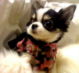 Beautiful chihuahua Paris dressed in her latest fashions from Ada Nieve