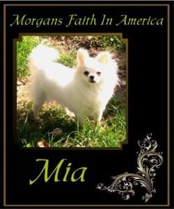 Morgans Faith In America bred by Rick Morgan of Morgan Chihuahuas