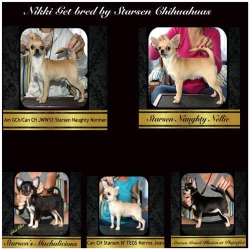 Nikki's Get, Bred By Stacey Amirov, Starsen Chihuahuas