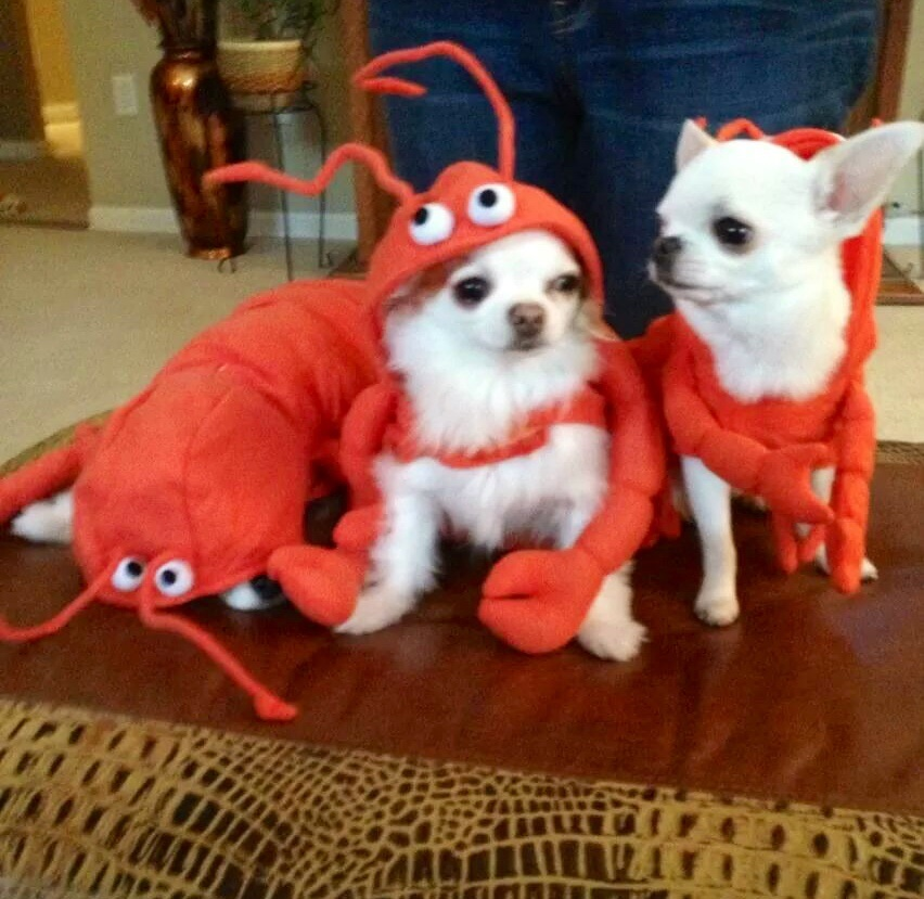 The gorgeous chihuahuas owned by Kim Helsey. Best mommie a hihuahua can ask for!!